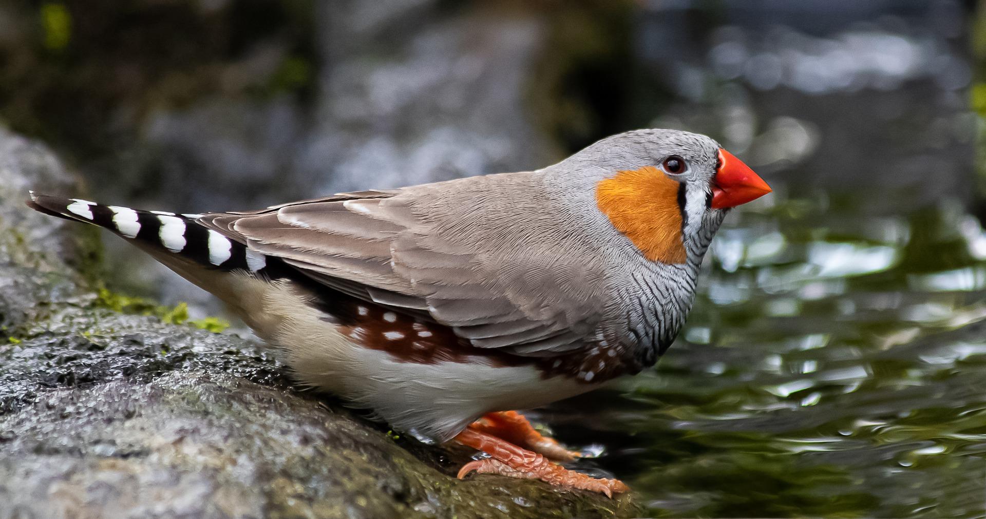 Pássaro Mandarim se banhando