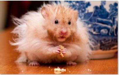 Hamster Angorá