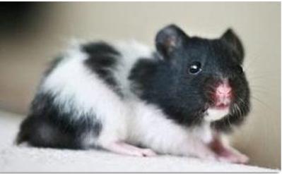 Hamster panda