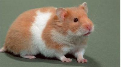 Hamster Selvagem amarelo