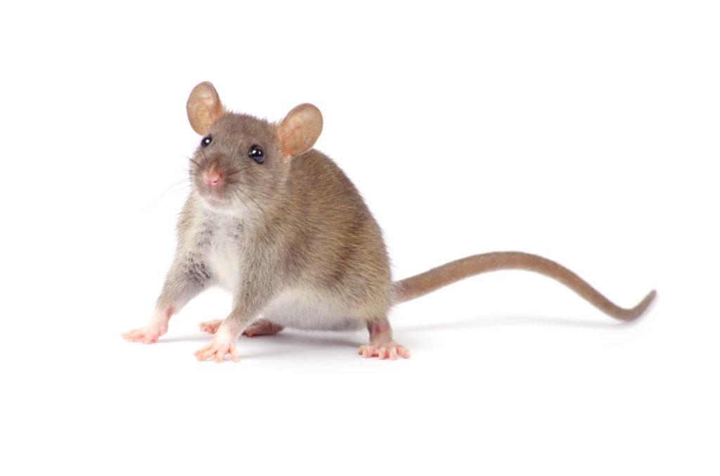 Rato twister Cinza