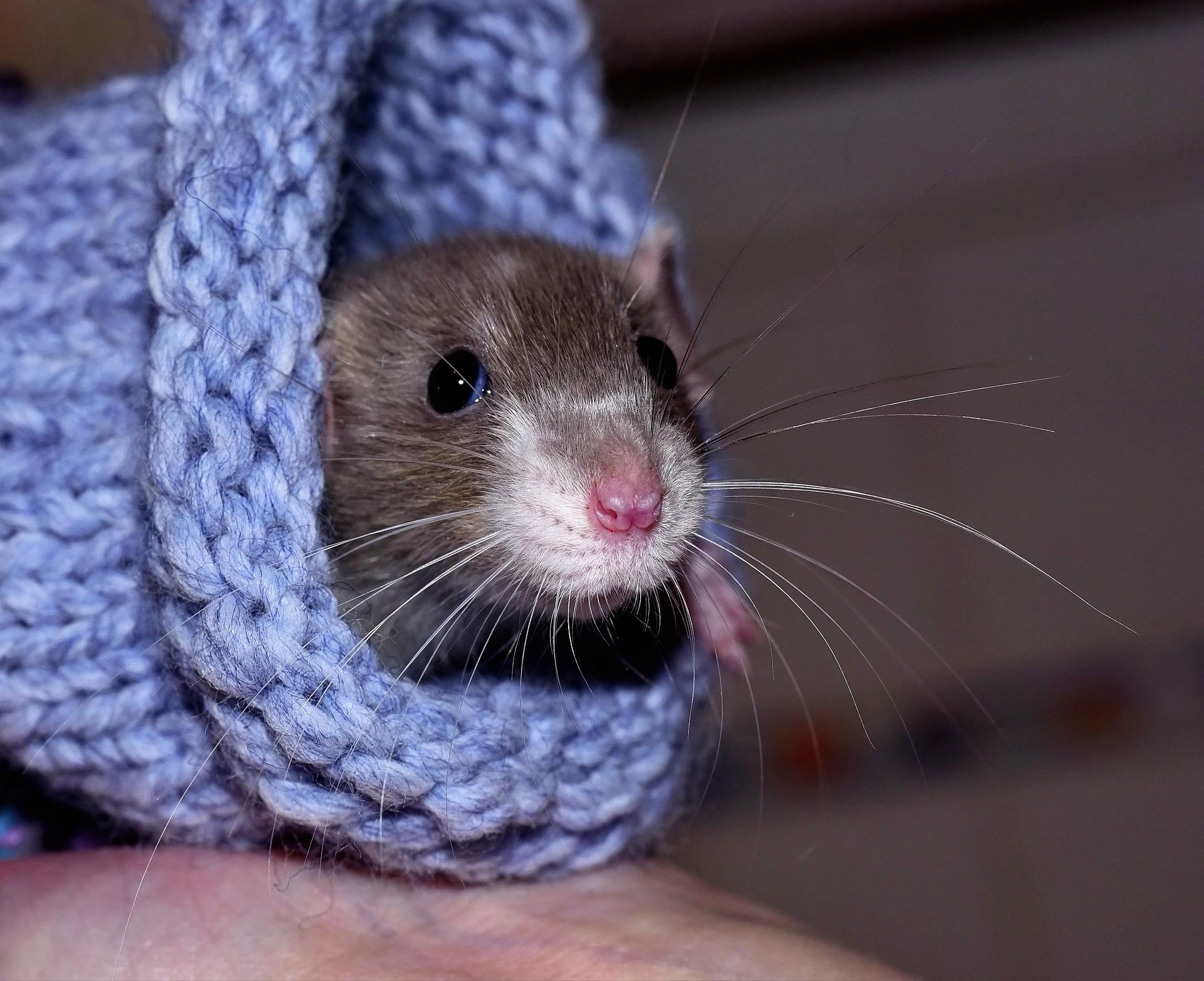 camundongo dentro de meia de lã
