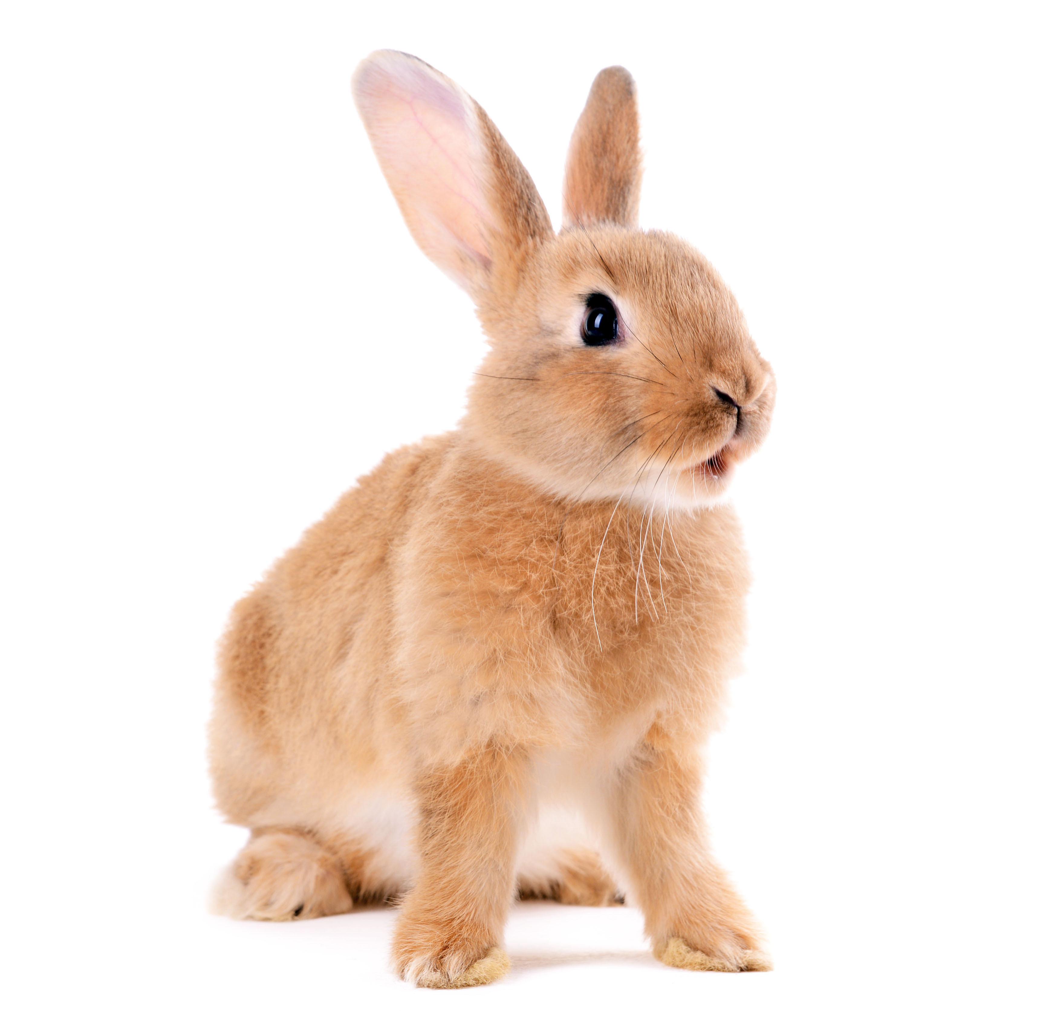 roedores-coelho-bege-blog-cobasi