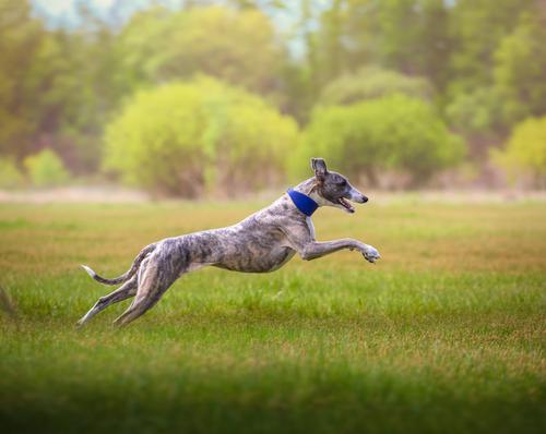 cachorro-whippet-raca