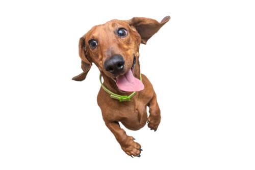 dachshund-blog-cobasi