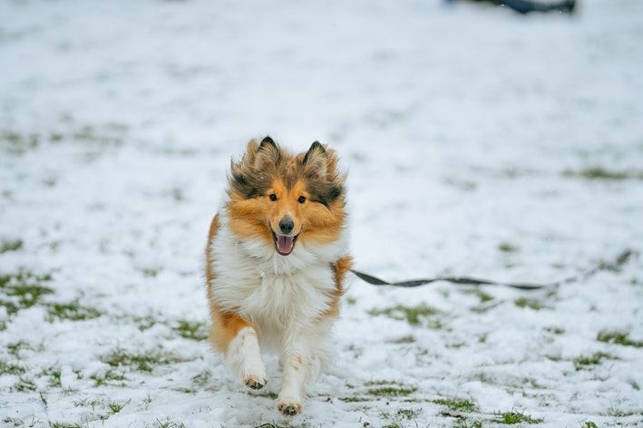 cachorro collie andando na neve