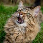 gatinho miando na grama