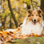 raca-collie-blog-cobasi