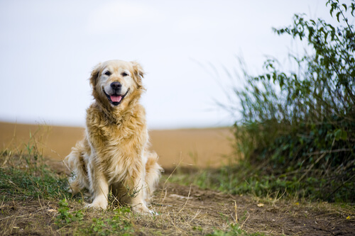Adotar um cachorro adulto