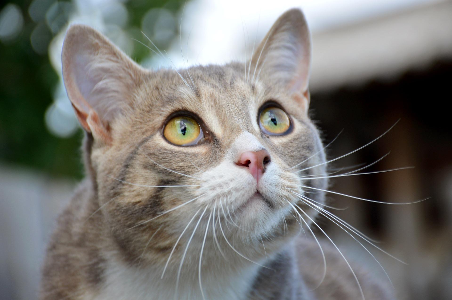 Felino passando por adestramento de gatos