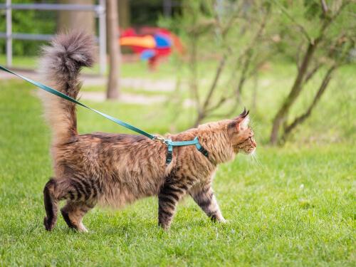 felino com peitoral para gatos passeando