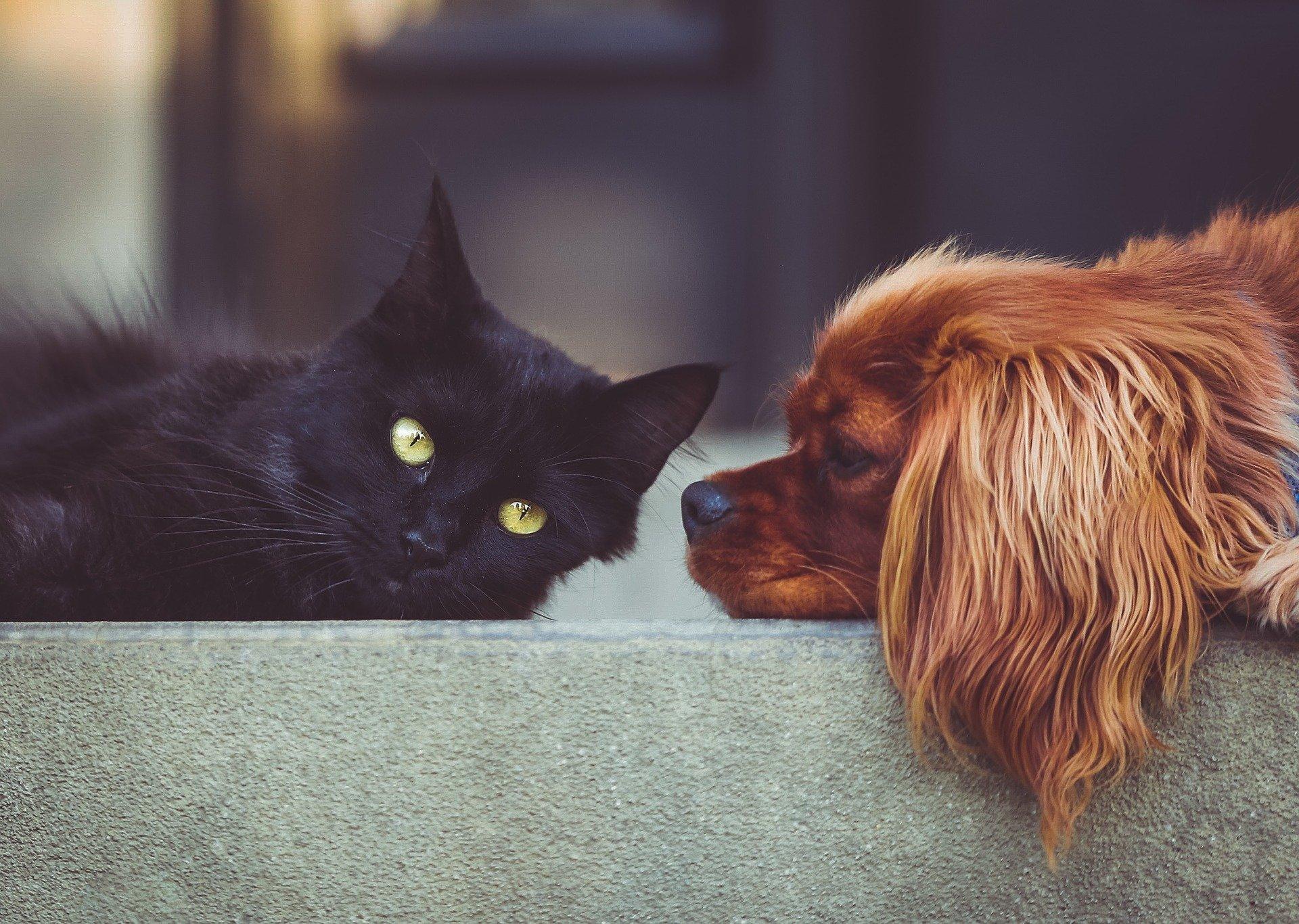 cachorro ciumento olhando gato