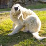 cachorro branco sentado na grama se coçando