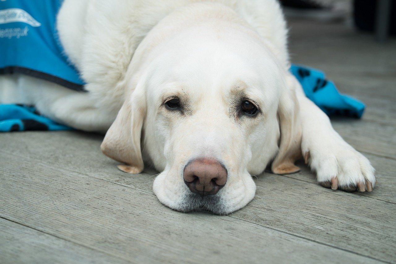 cachorro com doença renal crônica em cães