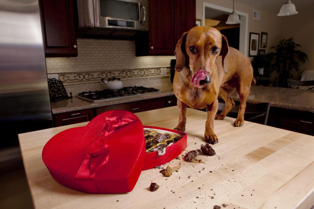 cachorro com caixa de chocolate