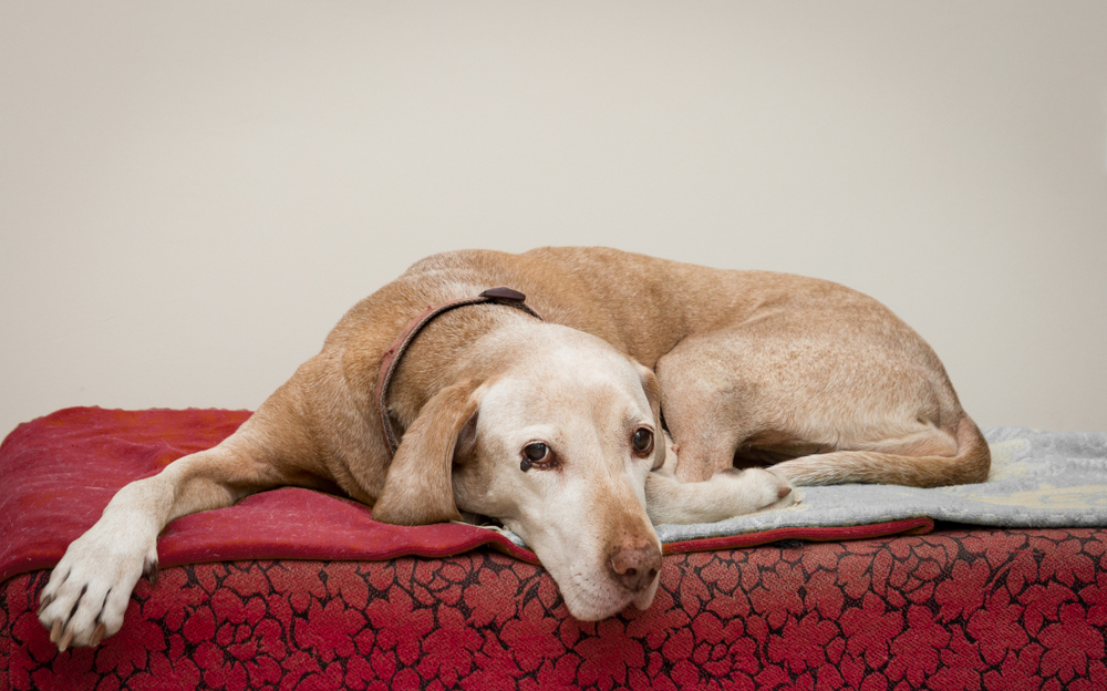 cachorro idoso deitado na cama vermelha