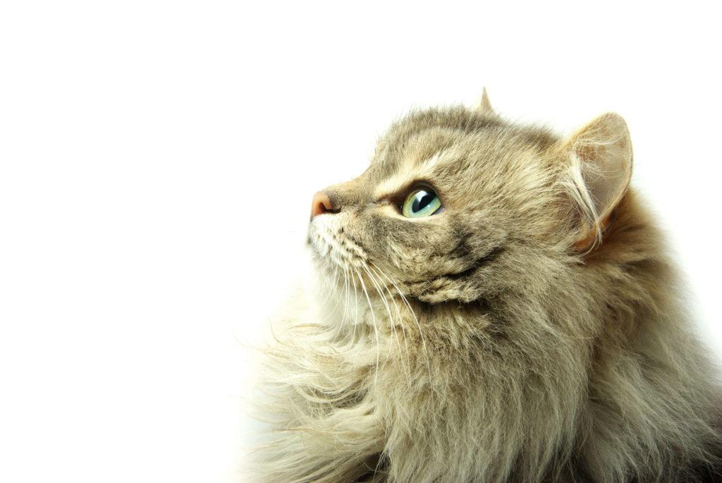 Bola de pelo em gato peludo