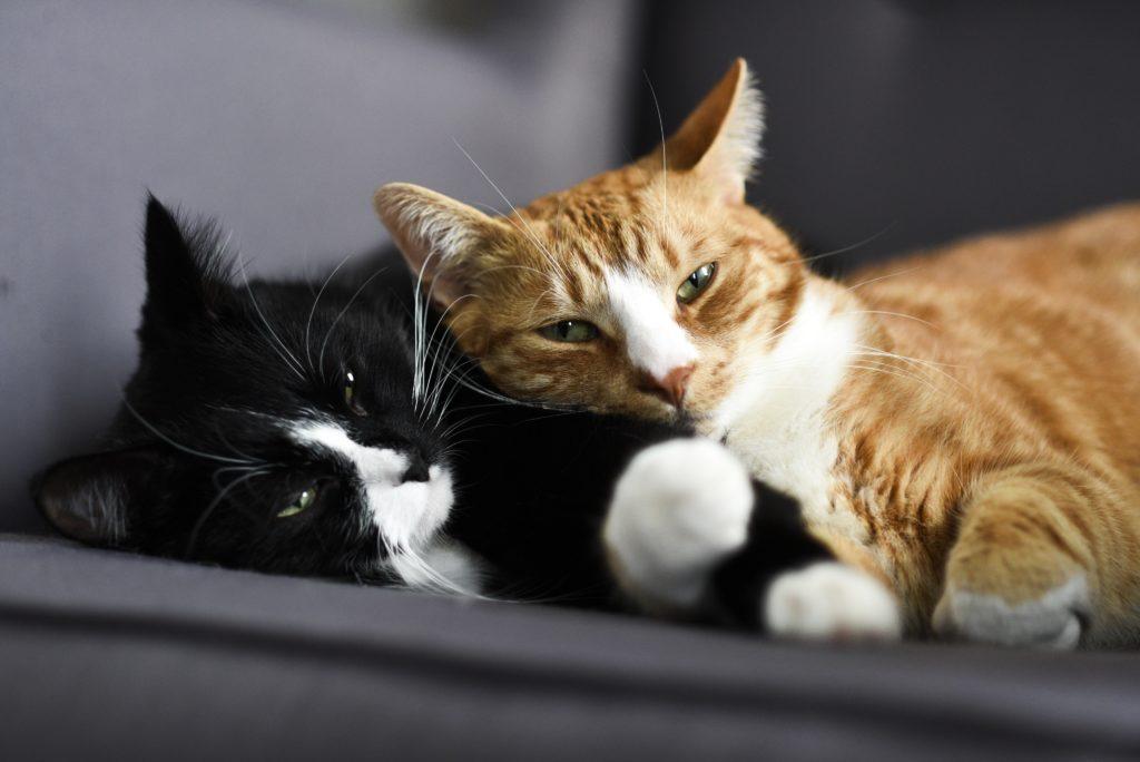 transmissao-da-pif-em-gatos-blog-combasi