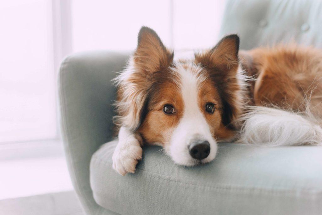 cadela deitada em poltrona com piometra
