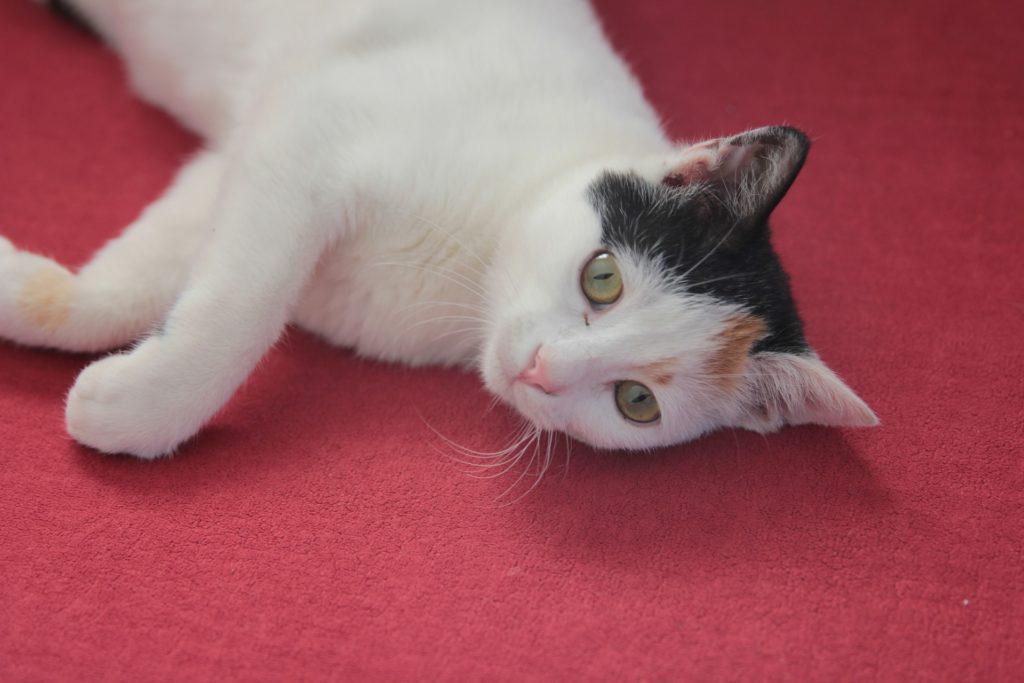 Anticarrapatos e antipulgas para gatos