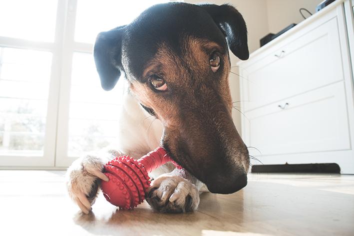 Cachorro rói brinquedo de plástico