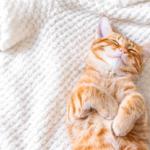 gato laranja dormindo