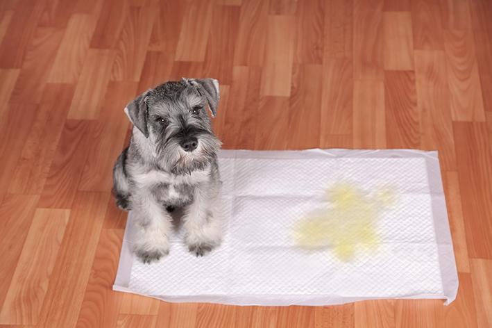 Cachorro fez xixi no tapete higiênico