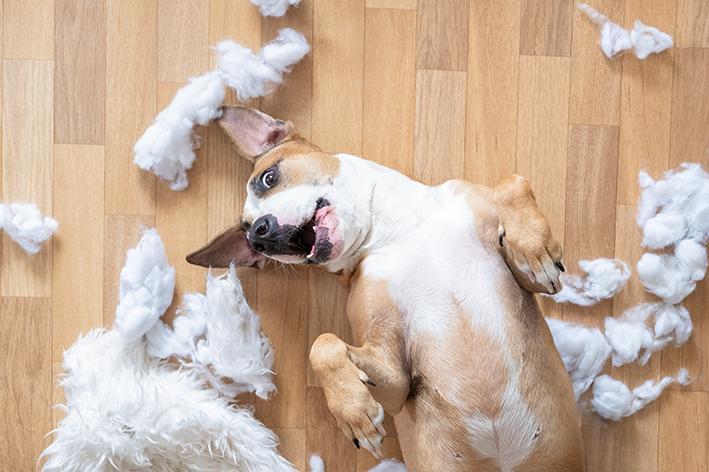 Cachorro tira o enchimento de um pelúcia