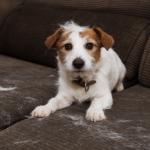 Cachorro no sofá com pelos