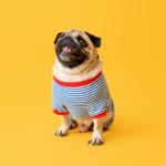 foto de cachorro Pug de roupinha