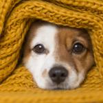 Cachorro no cobertor com frio