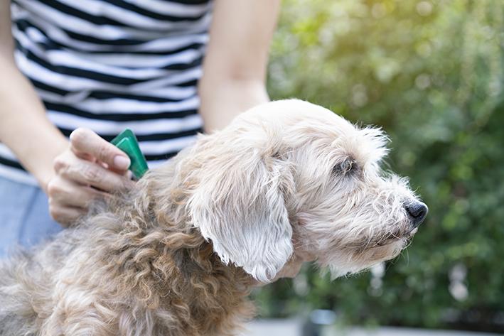 cachorro sendo medicado com antipulgas