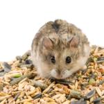 hamster no inverno precisa de comida