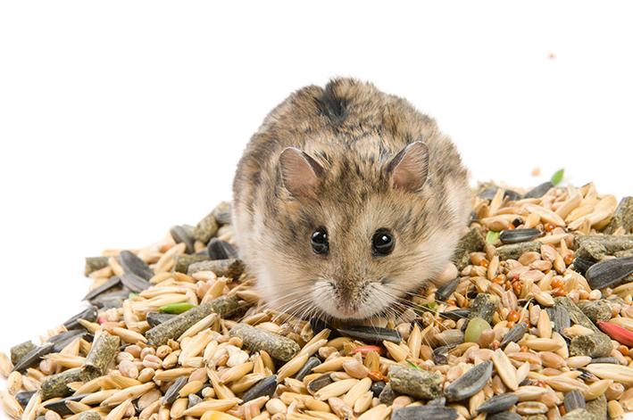 roedor com comida