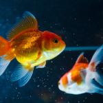 Peixes dourados no aquário