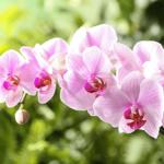 Tipos de orquídeas Phalaenopsis