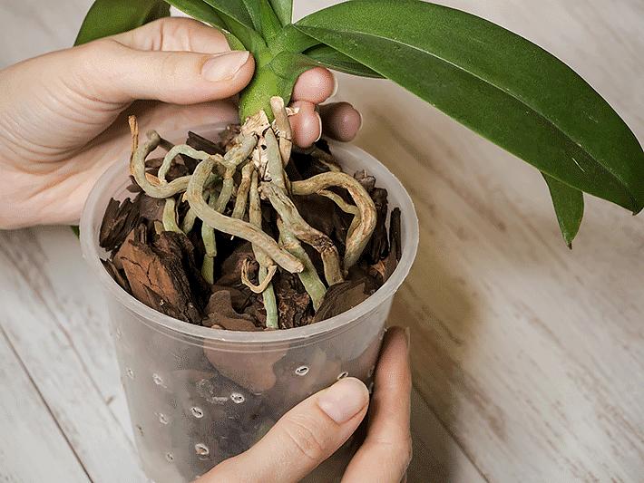 Cuidados com orquídea
