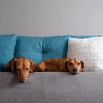 Dois cachorro para apartamento deitados no sofá