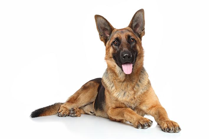 Pastor alemão é um ótimo cão de guarda