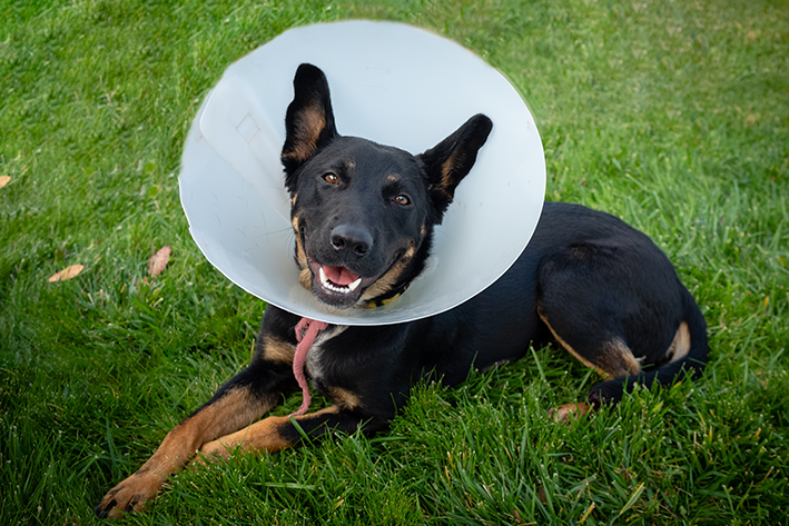 cachorro com colar elizabetano