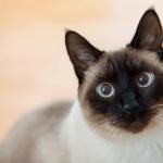gato siamês adulto
