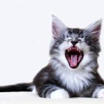 Gato miando em um fundo branco