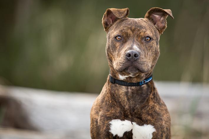 cachorro da raça Pitbull