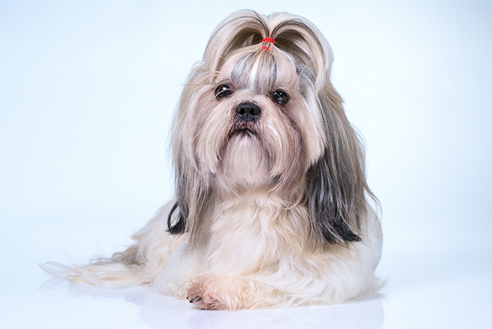 Cachorro Shih Tzu