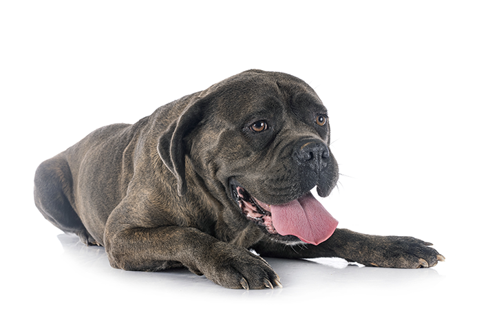 cachorro da raça Cane Corso