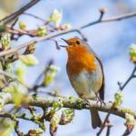 pássaro cantando