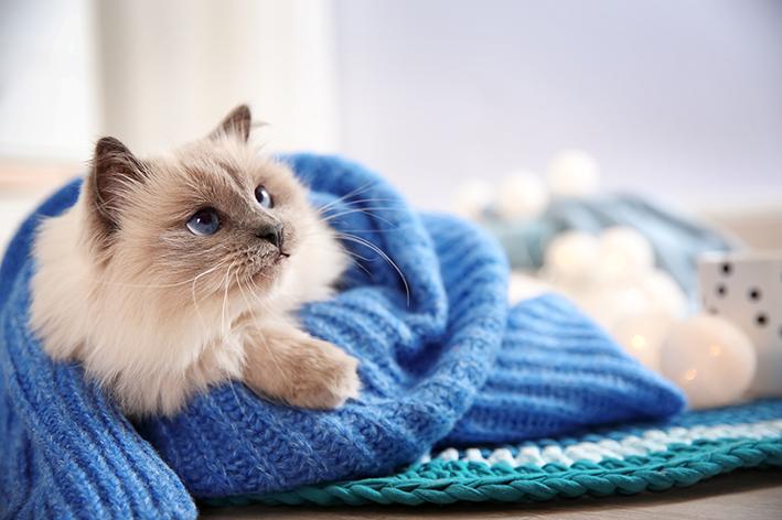 Gato enrolado em uma manta