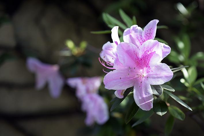 Azaleia é uma planta venenosa para pets