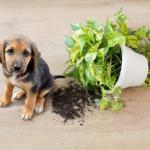 Cachorro derruba planta venenosa