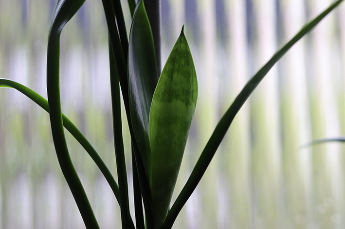 Espada de São Jorge é uma planta venenosa para pets